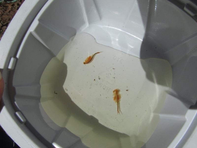 Fairy shrimp 1