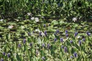 The shallows of Prichards Pond, a third mile long bulge in Boston Brook, are now  White Water Lily gardens. These beauties are framed in even shallower water by Pickerel Weeds in blue bloom.  - Judy Schneider photo