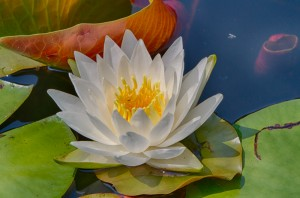 This White Water Lily, one of many now on shallow ponds and beaver impoundments, is surrounded by its round raft-like leaves, green on the top and reddish-orange below.  Each submerged surface is an upside down island for small organisms and a protective cloud for fish below.   -  Judy Schneider