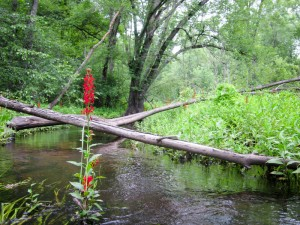 Brilliant red Cardinal Flowers now grace the edges of our streams and river.  Beaver felled trees cross in the background.  Note how lush the vegetation along the river is.  -  Judy Schneider photo