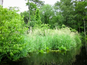 The Ipswich River in all its mid-summer glory.  Left to right are Swamp Dogwood bushes, Reed Canary Grass, and the large leaves of shorter Arrow Arum.  - Judy Schneider photo