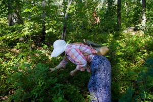 Fukiko Cudhea picks blueberries on a New England Forestry Foundation lot where there were few four years ago before the land was clear-cut.  Her family owns woodland just to the south.  After loggers took the shade away many new plants grew.  - Judy Schneider photo