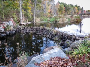 Not only do leaves turn in the fall. Beavers patch up and raise their dams as they've done recently with this well made dam where Logbridge used to pass over the Ipswich River from Middleton to Danvers. Note the upstream arc for added strength. - Judy Schneider photo