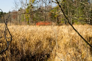 Reedy Meadow, Lynnfield, as seen looking west from abandoned BM railroad line. Now brown cattails dominate almost 1000 acres of this swamp. Note the red berries of winterberry, a wetland bush, in background, and alder with cone-like fruit in upper foreground. - Judy Schneider photo