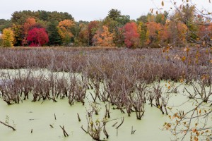 Water of Ipswich River floodplain carpeted with layers of fading green duckweed among button bushes. October colors highlight upland trees in background. - Pamela Hartman photo