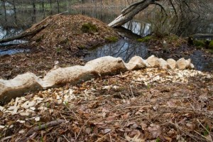 """An artistic beaver, perhaps with the help of friends, sculpted what Stream Teamers call """"The Auger"""" from a felled yellow birch on the edge of Webber's Pond. If raised vertically it would resemble a totem pole 15 feet tall. - Judy Schneider photo."""