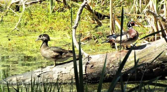 WOOD DUCKS (April 2011, revised March 2017)*