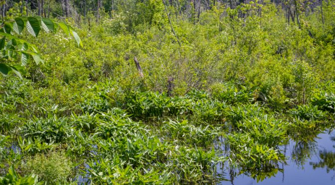 BEAVER MEADOW OF HERBS, SHRUBS AND LOTS OF WATER