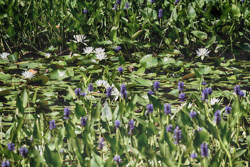 POND LILY TIME