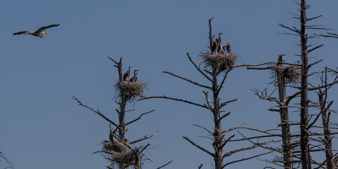 A HERON ROOKERY WHERE THREE TOWNS MEET